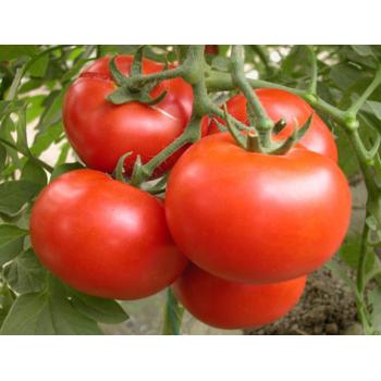 【华阴农场】西红柿