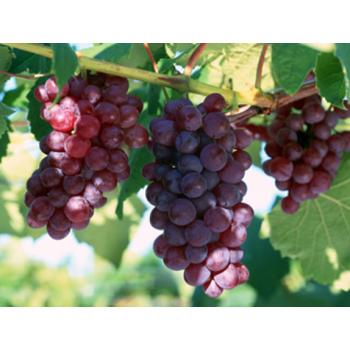 【华阴农场】红提葡萄