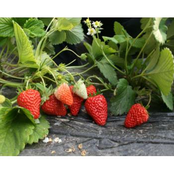 【华阴农场】草莓