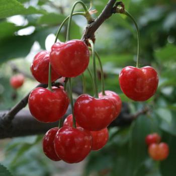 【华阴农场】绿色无公害大樱桃
